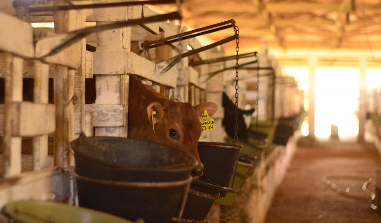 https://opuroleite.com.br/genetica-fiore-ha-mais-de-20-anos-em-busca-do-leite-a2/